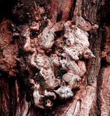 Gnarled Tree Trunk