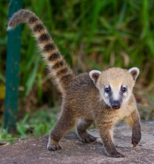 Coati by Adrian Ratter