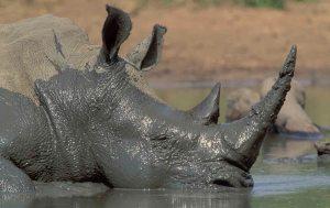 mud-rhino